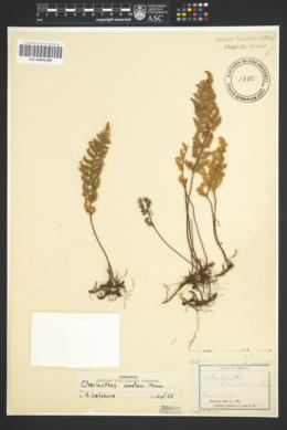 Myriopteris wootonii image