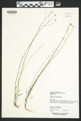 Erigeron utahensis image