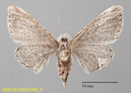 Anacamptodes obliquaria image
