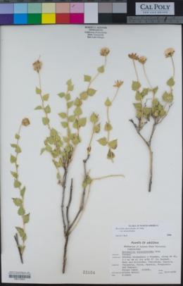 Brickellia atractyloides var. atractyloides image