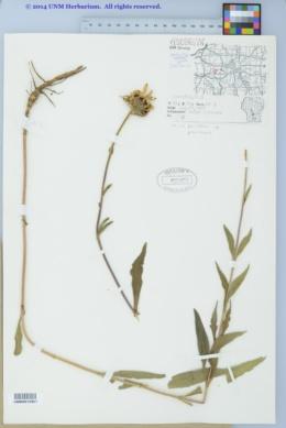 Helianthus pauciflorus subsp. pauciflorus image