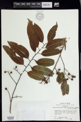 Image of Prunus brasiliensis