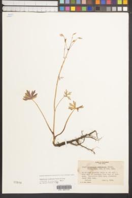 Image of Delphinium armeniacum