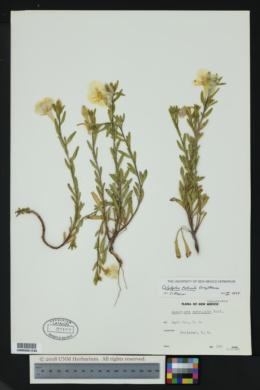 Image of Calylophus tubicula
