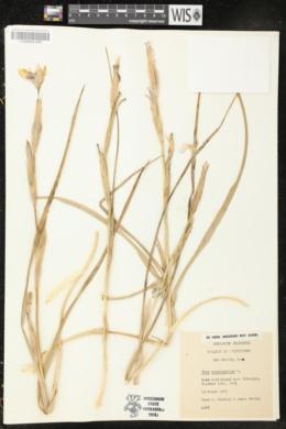 Moraea sisyrinchium image
