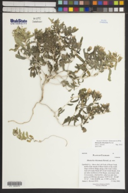 Mentzelia rhizomata image