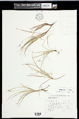 Carex concinna image