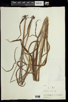 Image of Paspalum tumidum