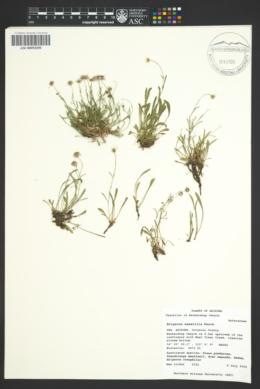 Erigeron saxatilis image