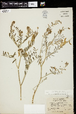 Image of Astragalus bernardinus