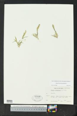 Tragus berteronianus image