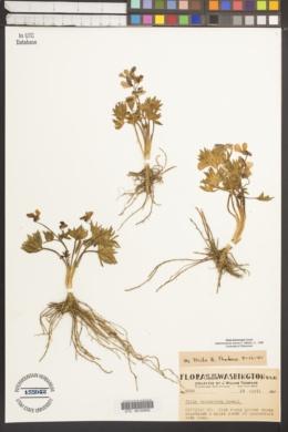 Viola trinervata image