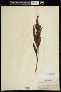 Rumex floridanus image