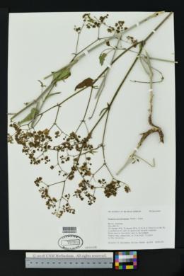 Image of Mirabilis microchlamydea