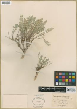 Astragalus megacarpus image