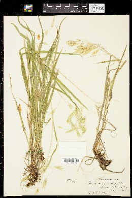 Image of Bromus secundus