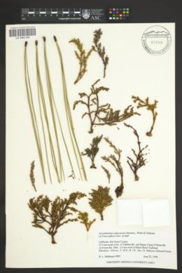 Arceuthobium siskiyouense image
