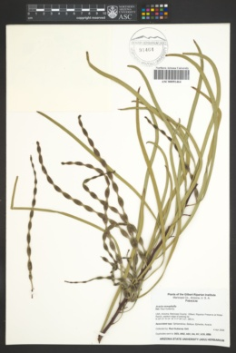 Acacia stenophylla image