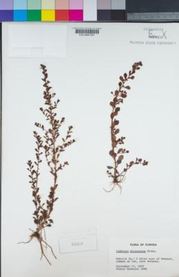 Image of Ludwigia microcarpa