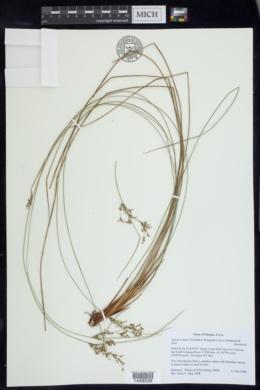 Juncus exiguus image