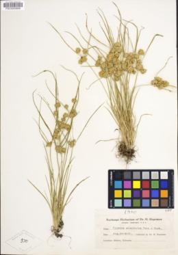 Image of Cyperus acuminatus