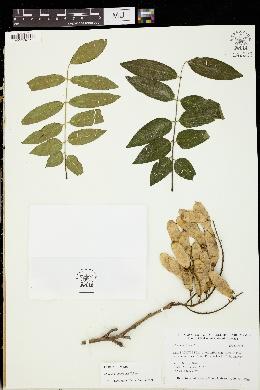 Image of Maackia hupehensis