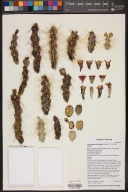 Cylindropuntia fulgida var. fulgida image