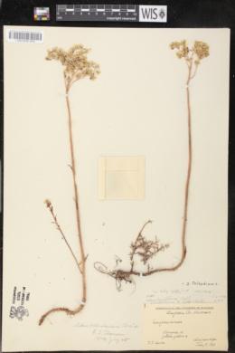 Image of Sedum ochroleucum