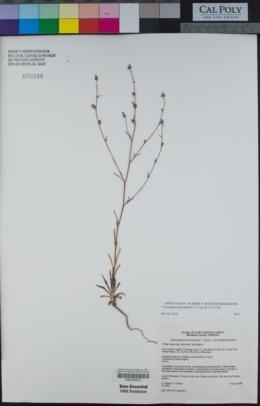 Image of Calycadenia micrantha