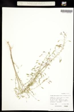 Image of Peritoma multicaulis