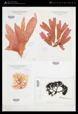 Palmaria palmata image