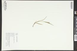 Carex frankii image