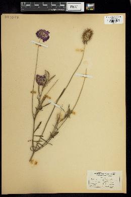 Image of Knautia dipsacifolia