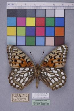 Speyeria edwardsii image
