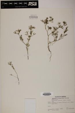 Spermolepis echinata image