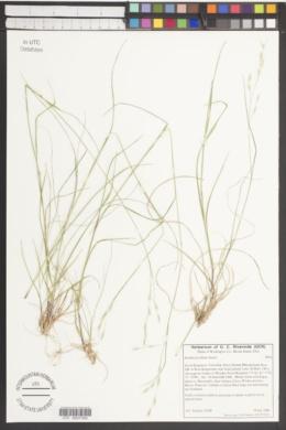 Image of Danthonia allenii