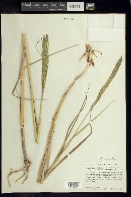 Image of Arundinella hispida