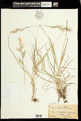 Image of Bromus cebadilla
