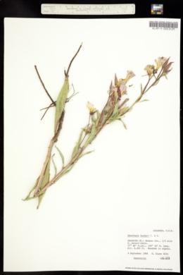 Image of Oenothera hookeri