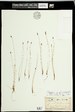 Image of Eleocharis uniglumis