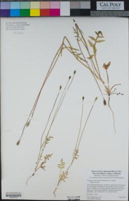 Papaver heterophyllum image