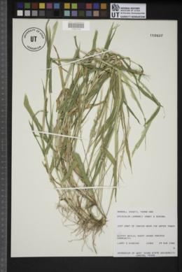 Eriochloa lemmonii image