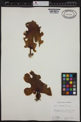 Eisenia arborea image