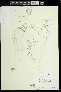 Muhlenbergia ciliata image