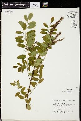 Amorpha fruticosa image