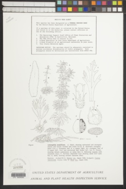 Limnophila sessiliflora image