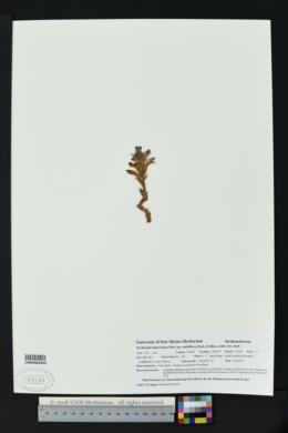 Orobanche ludoviciana subsp. multiflora image