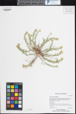 Gutierrezia elegans image