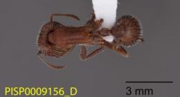 Image of Pogonomyrmex maricopa