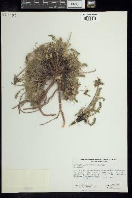 Oxytropis bellii image